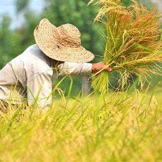 برنج گیلان یا برنج مازندران