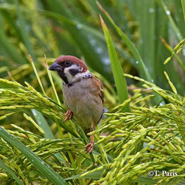 تهاجم پرندگان به برنج