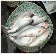 ماهی سفید