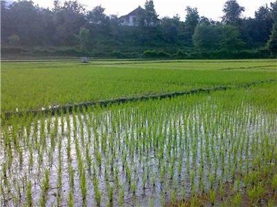 وضعیت برنج در ایران