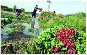 کاشت سبزیجات بعد از کاشت برنج در مازندران