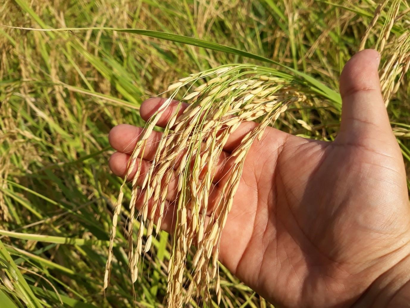 تاریخچه کشت برنج در ایران