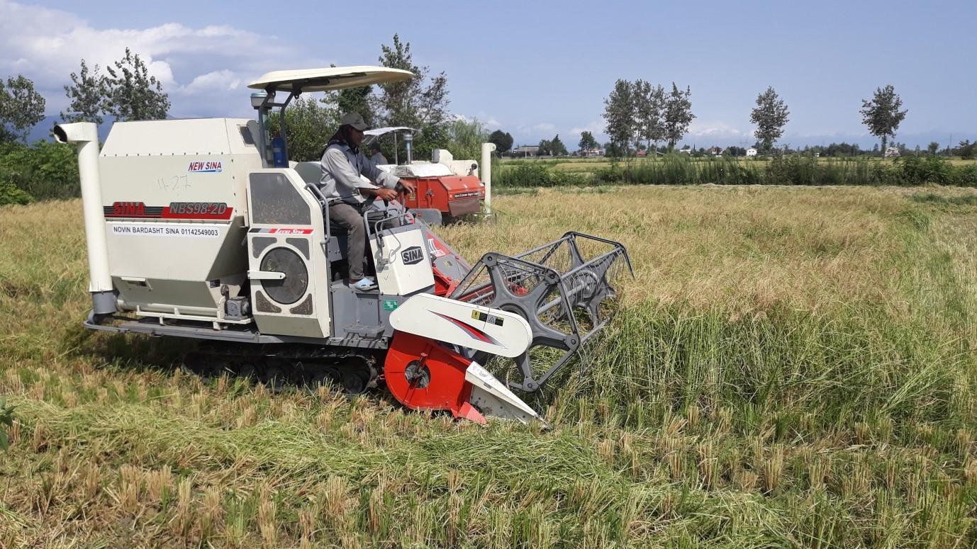 مراحل رشد تا خرید برنج ایرانی