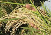 برنج خالص
